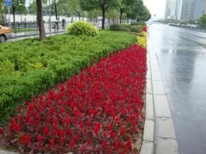 印度人眼中的中国公路:公路边漂亮的花丛
