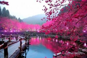 日本网民看到台湾樱花怀念起殖民时代