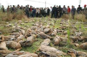继死猪事件后,死鸭子事件又在中国上演